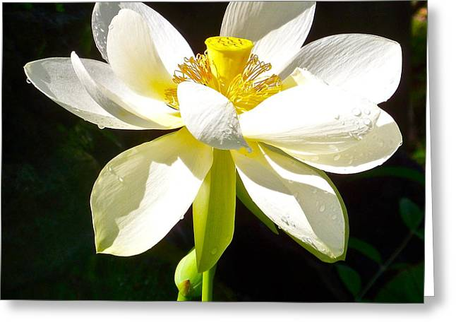 White Lotus Greeting Card