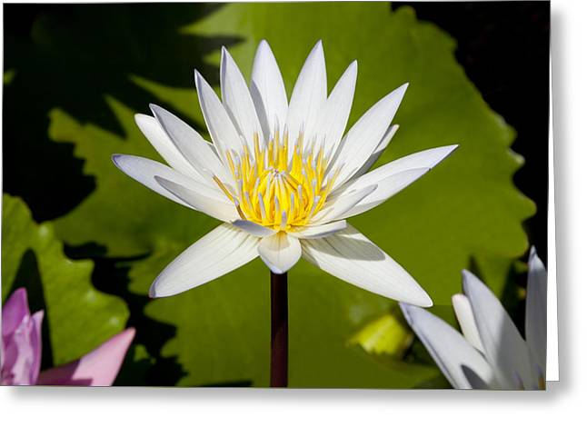 White Lotus Greeting Card by Kelley King