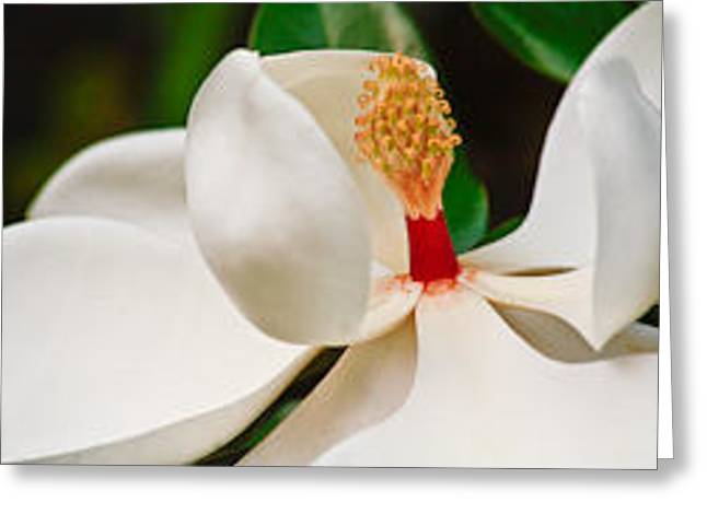 White Magnolia Greeting Card by Ann Murphy