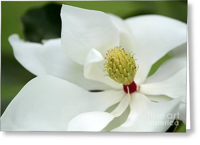 White Magnolia Greeting Card by Sabrina L Ryan