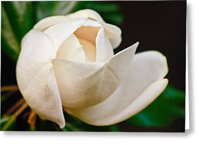 White Magnolia Unfolding Greeting Card by Ann Murphy