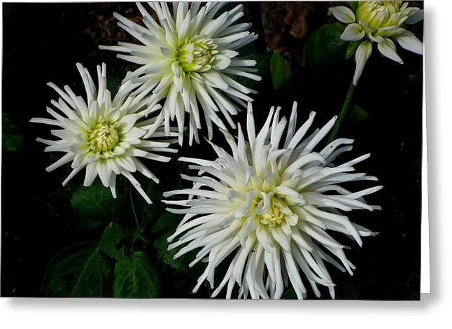White Mums Greeting Card by Kathy Long