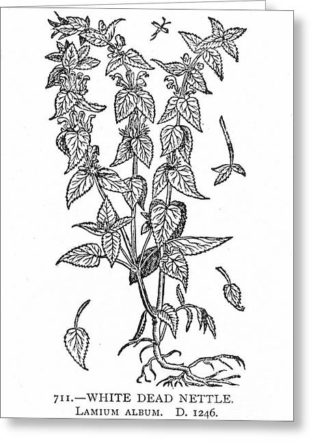 White Nettle Greeting Card by Granger