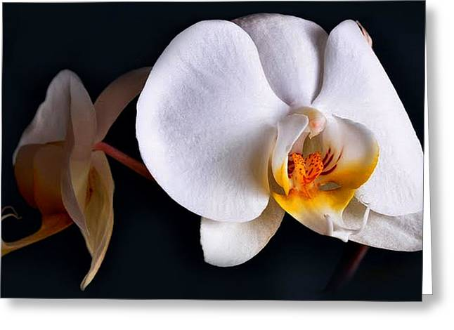 White Orchid Greeting Card by Dorothy Walker
