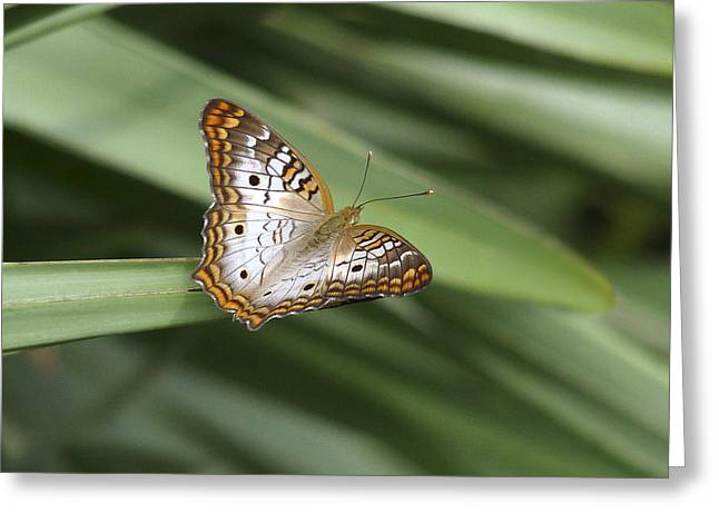 White Peacock Butterfly. Greeting Card by Chris  Kusik