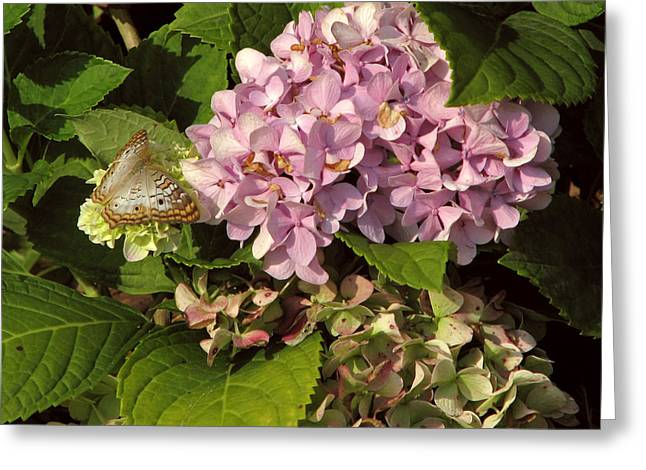 White Peacock On Hydrangea Greeting Card by Peg Urban