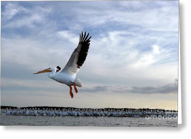 Greeting Card featuring the photograph White Pelican Flying Over Island by Dan Friend