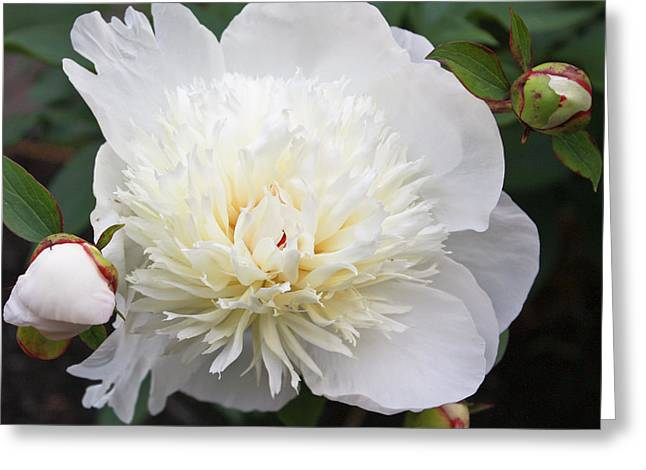 White Peony Greeting Card by Ann Murphy