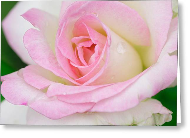 White-pink Rose Greeting Card by Atiketta Sangasaeng