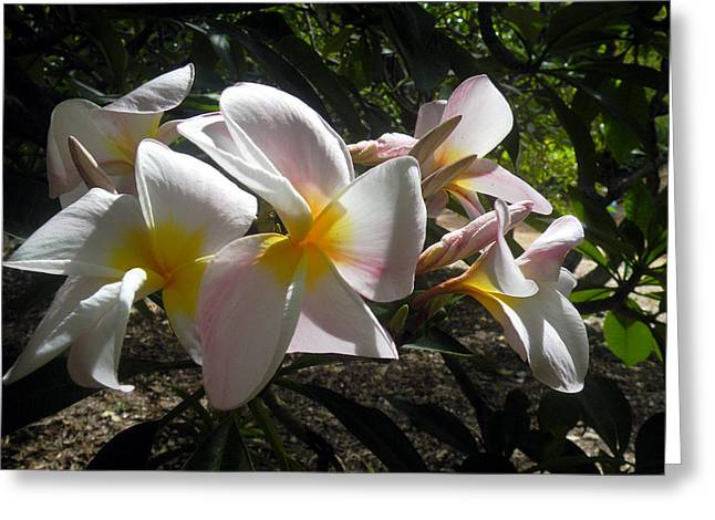 White Plumeria Greeting Card by Vicky Tarcau