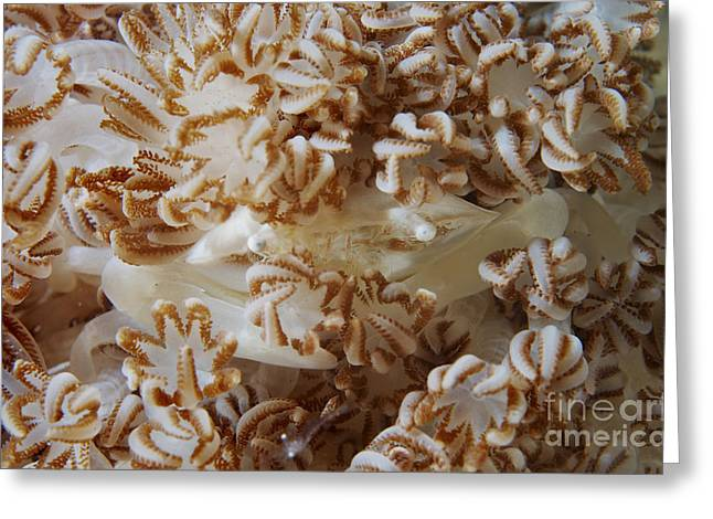 White Porcelain Crab In Beige Soft Greeting Card by Mathieu Meur