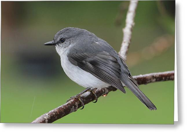 Greeting Card featuring the photograph White Robin by Serene Maisey