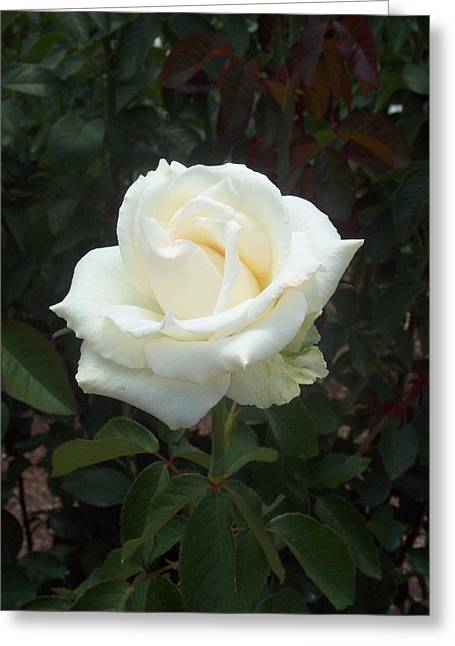 White Rose Greeting Card by Lisa Williams