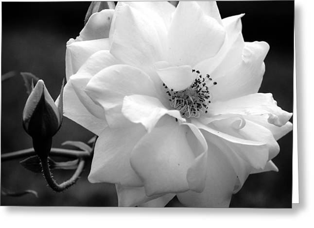 White Rose Greeting Card by Michelle Joseph-Long