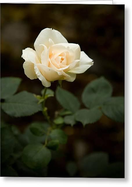White Rose Greeting Card by Sheri Van Wert