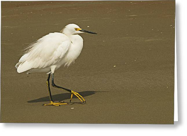 White Seabird Walking Greeting Card by Barbara Middleton