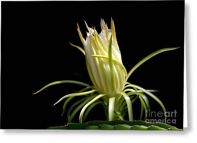 White Spikey Cactus Flower Greeting Card by Sabrina L Ryan