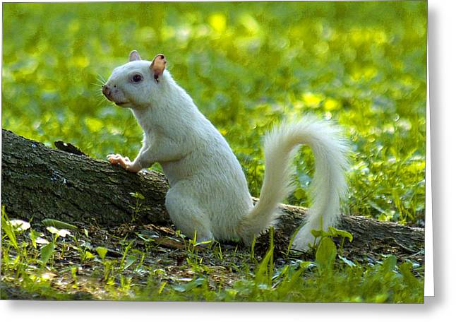 White Squirrel Greeting Card by J Larry Walker