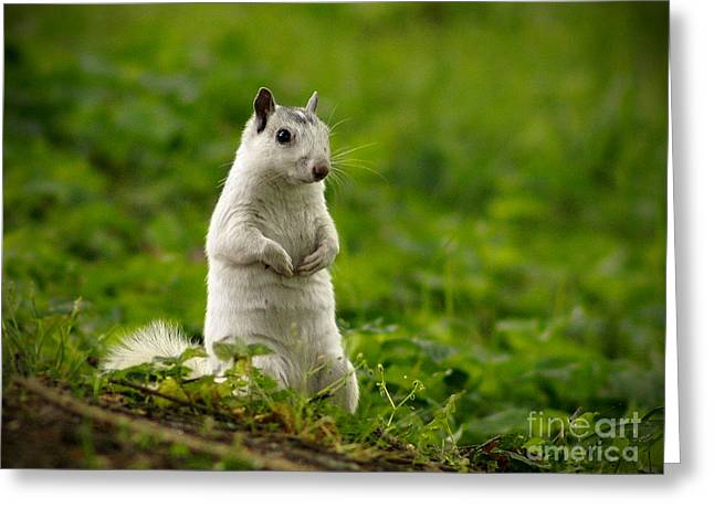 White Squirrel Greeting Card by JK York