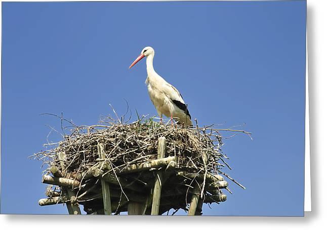 White Stork Ciconia Ciconia Greeting Card by Matthias Hauser