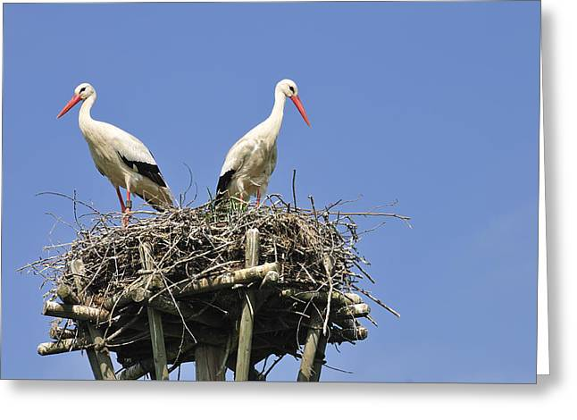 White Storks In Their Nest Greeting Card by Matthias Hauser