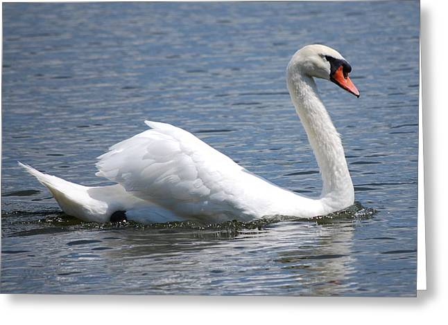 White Swan On A Lake Greeting Card by Carrie Munoz