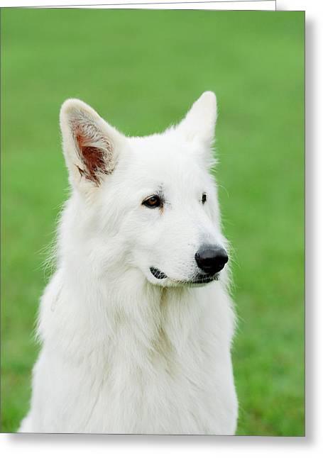 White Swiss Shepherd Dog Greeting Card by Waldek Dabrowski