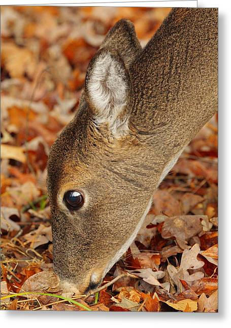 White-tailed Deer 1 Greeting Card by Andrew McInnes
