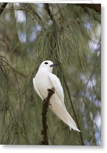 White Tern Midway Atoll Hawaiian Greeting Card by Sebastian Kennerknecht
