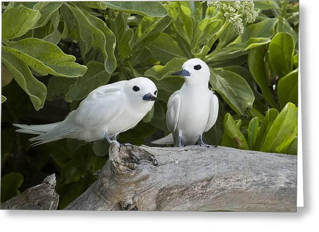 White Tern Pair Midway Atoll Hawaiian Greeting Card by Sebastian Kennerknecht