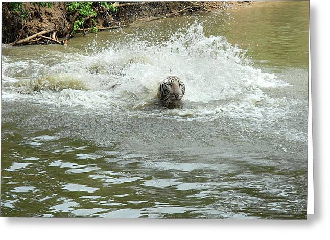 White Tiger In Water Pond Greeting Card by Johnson Moya