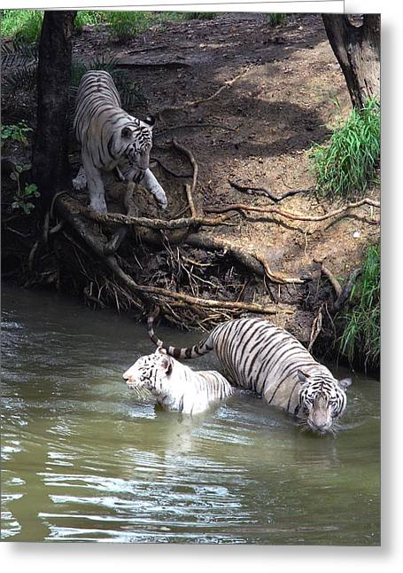 White Tigers In Water Pond Greeting Card by Johnson Moya