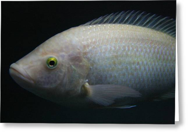 White Tilapia With Yellow Eyes Greeting Card