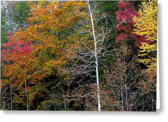 White Tree Fall Colors  Greeting Card by Rich Franco