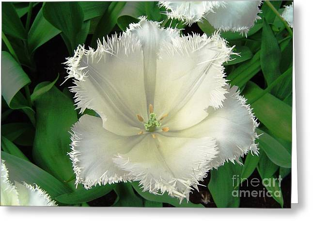 White Tulip Greeting Card by AmaS Art