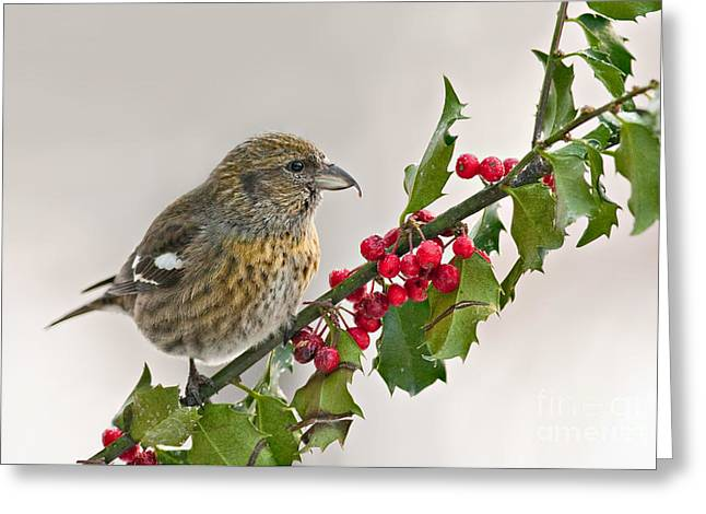 White-winged Crossbill On Holly Branch Greeting Card by Jean A Chang