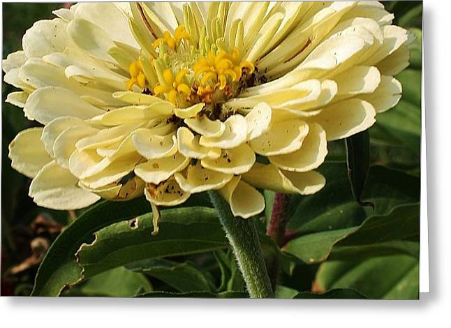 White Zinnia Greeting Card by Bruce Bley