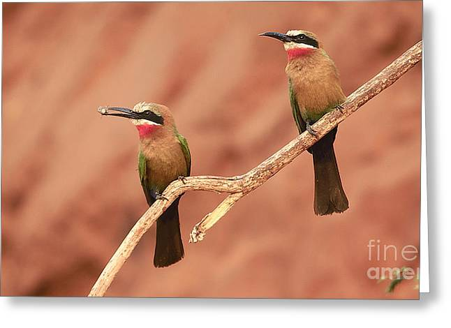 Whitefronted Bee-eaters Greeting Card