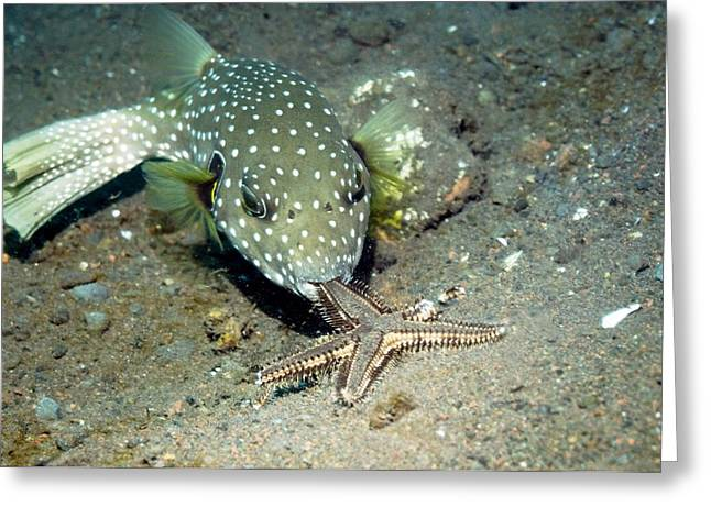 Whitespotted Puffer Feeding On A Starfish Greeting Card by Georgette Douwma