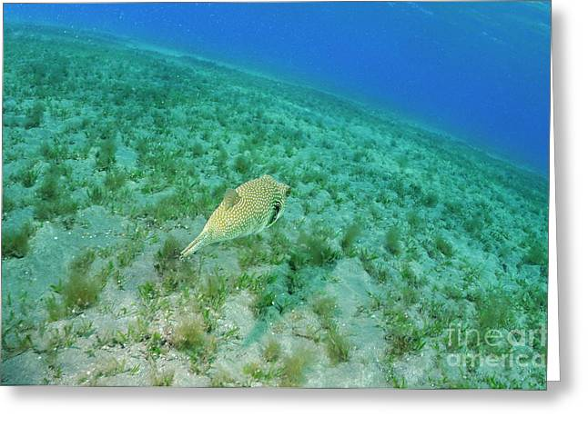 Whitespotted Pufferfish Greeting Card by Sami Sarkis
