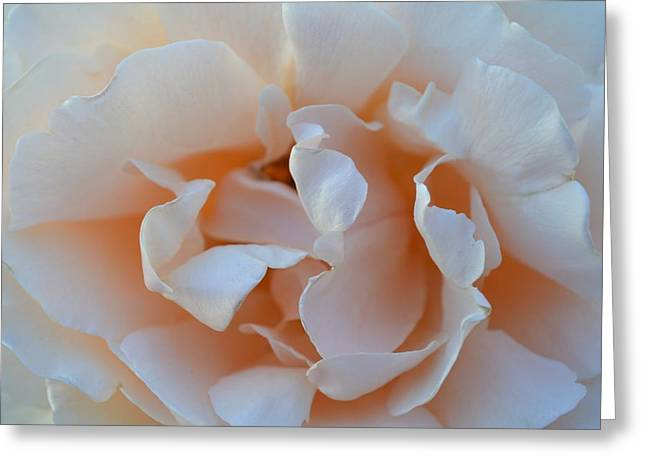 Whitest Rose Greeting Card by Naomi Berhane