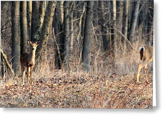 Greeting Card featuring the photograph Whitetail Alert by Mark J Seefeldt