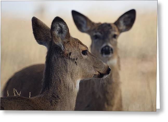 Whitetail Deer Greeting Card by Ernie Echols