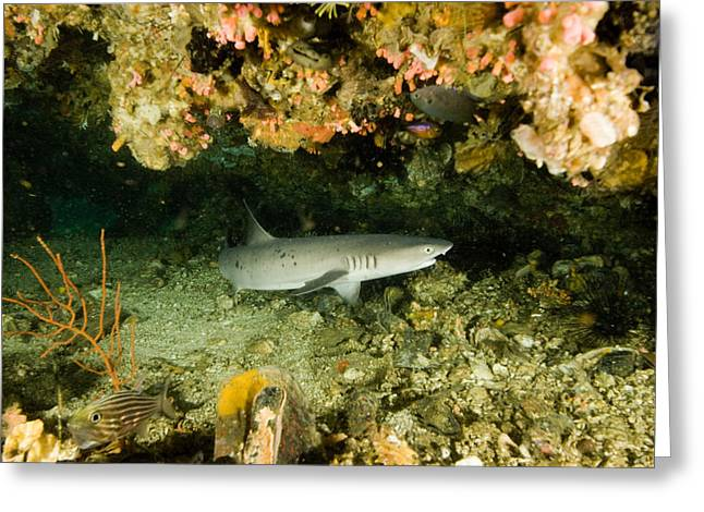 Whitetip Reef Shark In Cavern Greeting Card
