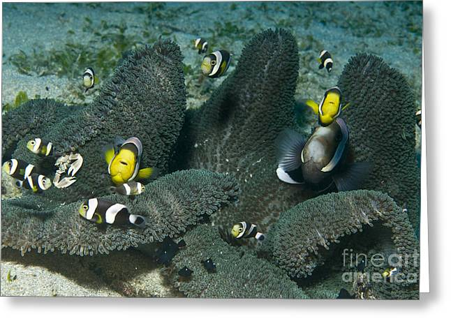 Whole Family Of Clownfish In Dark Grey Greeting Card