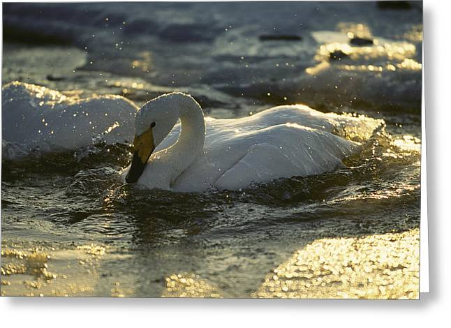 Whooper Swans Bathing In Early Morning Greeting Card