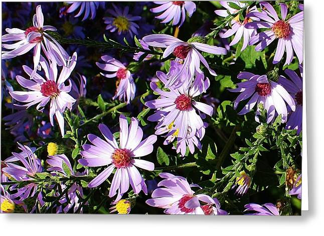 Wild Asters Greeting Card by Bruce Bley