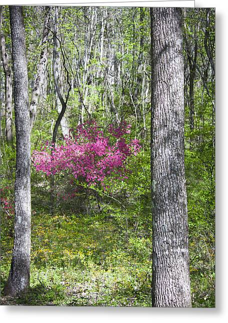 Wild Azalea Greeting Card