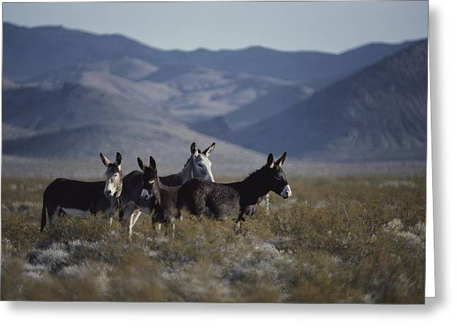 Wild Burros Descended From Those Left Greeting Card