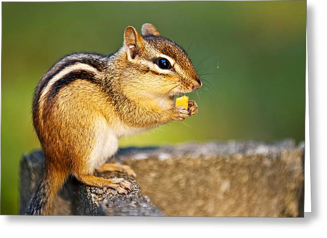 Wild Chipmunk  Greeting Card by Elena Elisseeva